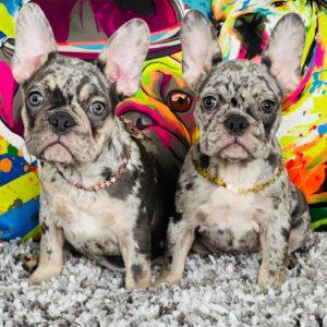 French bulldog choco Merle and blue Merle female