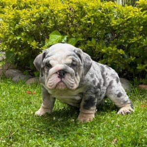 English bulldog blue Merle male