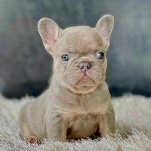 French bulldog lilac and tan female
