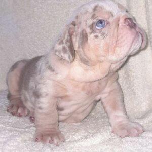 English bulldog Lilac Merle and tan female