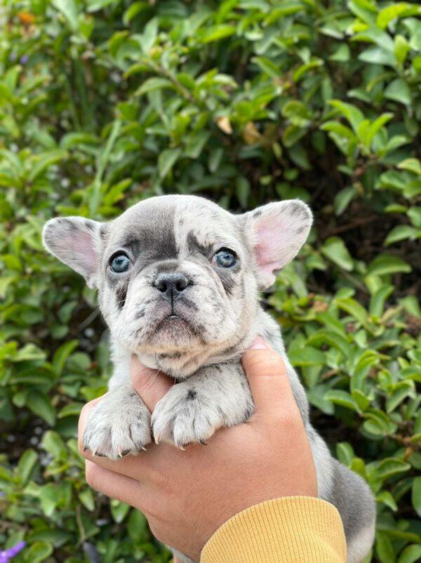 French bulldog blue Merle female