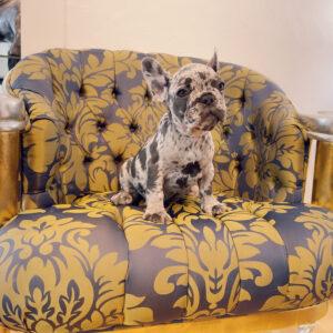 Exotic French Bulldog blue merle