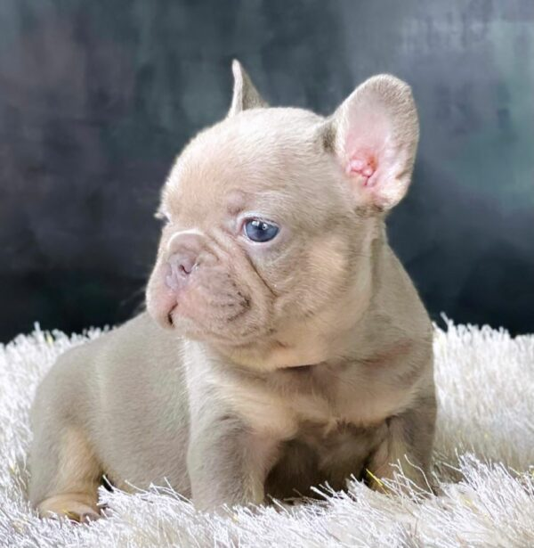 Frenchie Lilac and tan female