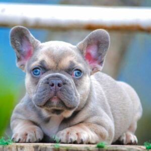 French bulldog Lilac sable fawn, fuffly carrier triple Carrier