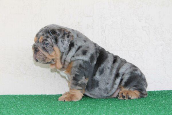 English bulldog blue Merle stud