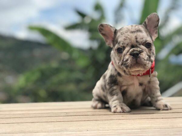 French Bulldog Choco merle Female